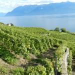 Curiosités du vignoble suisse: Plant Robert