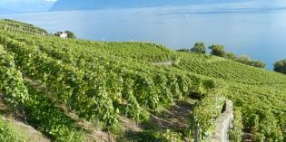 Vendanges 2014 dans le canton de Vaud