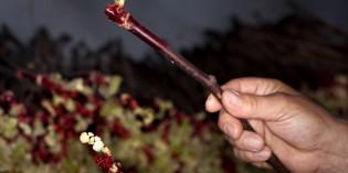 Pépiniériste, le premier métier du vin